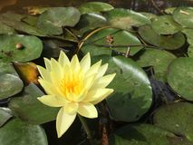 Da Lat  Viet Nam. A Lily in the lake Stock Image