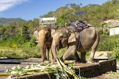 Elephants with chairs on their backs in a zoo in Da Lat, Vietnam royalty free stock images