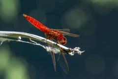 Da libélula um escarlate do erythraea de Crocothemis no perfil foto de stock