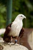Da mare Eagle sostenuto Rosso Immagine Stock