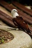 Da mare Eagle sostenuto Rosso Immagini Stock