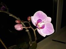  da orquídea/Орх иÐ'Ð?Ñ Fotografia de Stock Royalty Free