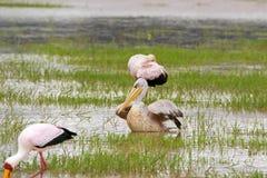 Da pellicano sostenuto da rosa africano fra le cicogne dal becco giallo che foraggiano per il pesce nel lago Manyara, Tanzania, A fotografie stock libere da diritti