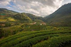 ` 2000 da plantação de chá s Imagem de Stock