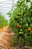 Da plantação do tomate no controle da estufa e de temperatura Imagem de Stock Royalty Free