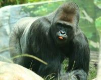 Da prata um gorila para trás com uma parte de cenoura Foto de Stock