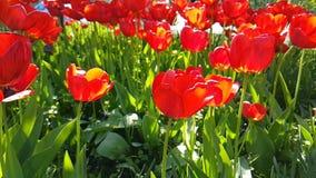 Da primavera bonita do campo do lento-movimento do narciso das tulipas flor exterior sazonal do jardim video estoque