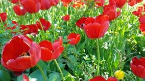 Da primavera bonita do lento-movimento do narciso das tulipas flor exterior sazonal do jardim filme