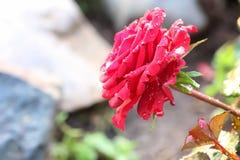 Da rosa escarlate da gota do botão fotografia de stock
