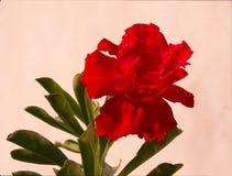 Da rosa vermelha do deserto dos bonsais o vermelho à terra traseiro de alta qualidade matizou a flor isolada Foto de Stock Royalty Free