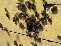 Da strisciamento giallo di entrancebees dell'alveare fuori Fotografia Stock Libera da Diritti