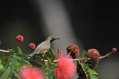 da Sunbird sostenuto da oliva in Chiang Mai, Tailandia Fotografia Stock