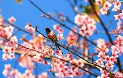 da Sunbird sostenuto da oliva sul ramoscello di sakura Fotografia Stock