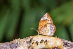 Da terra comum borboleta palmfly fotos de stock