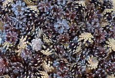 Da textura abstrata seca conífera arborizado do ingrediente do teste padrão da floresta do pinho de pedras da natureza de Pinecon Imagens de Stock