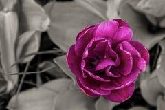 Da tulipa colorida do botão do fundo do contraste da flora close-up lilás escuro de terry na cabeça grande do projeto cinzento da imagem de stock