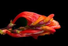 Da un germoglio ad un fiore Fotografia Stock Libera da Diritti
