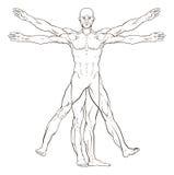 Da Vinci Style Vitruvian Man Stock Photography