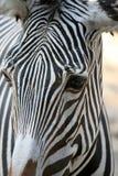 Da zebra da cabeça fim acima fotografia de stock royalty free