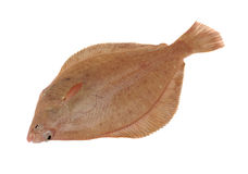 Dab Fish Royalty Free Stock Photography