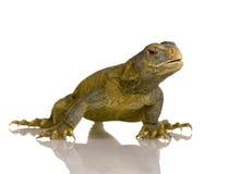 dabb蜥蜴 免版税库存图片