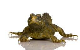 Dabb Lizard Stock Photography