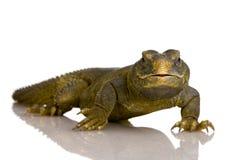 Dabb Lizard Royalty Free Stock Photos