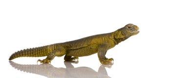 Dabb Lizard Royalty Free Stock Image