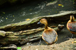 Dabbling bduck near the lak Royalty Free Stock Image