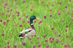 Dabbling duck amongst snakes head fritillary flowers Stock Images