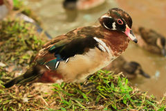 Dabbling duck Stock Photo