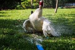 Dabbling ducks Royalty Free Stock Images