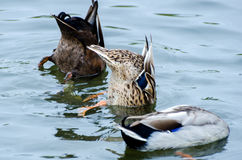 Dabbling Mallard Duck Hen Stock Photos