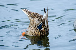 Dabbling Mallard Duck Hen Royalty Free Stock Images