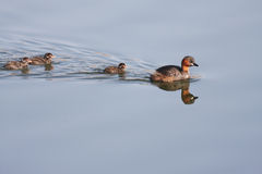 Dabchick. With chicks on a lake in south africa Royalty Free Stock Image