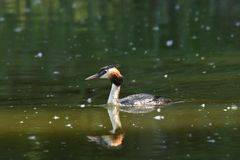 Crested crebe swimming on the lake. Dabchick crested swimming on the lake grebe Stock Photo
