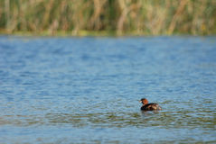 Dabchick Stock Images