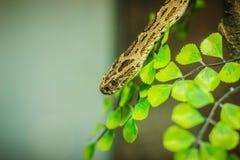 Daboia siamensis蛇,是地方性的一个有毒蛇蝎种类 图库摄影