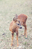 Daby deer in the wild Royalty Free Stock Image