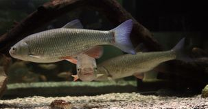 Dace comum, leuciscus do leuciscus, adultos natação, movimento lento vídeos de arquivo