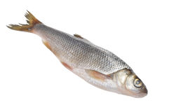 Dace Fish Isolated on White Background Stock Images