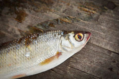 Dace fish on the woods Stock Photography