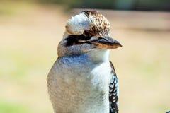 dacelo kookaburra się śmieją novaeguineae Obrazy Stock