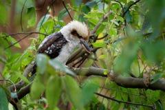 Dacelo novaeguineae - Laughing Kookaburra big kingfisher sitting on the branch in green forrest. In Tasmania, Australia stock photos
