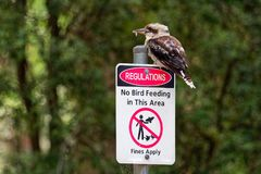 Dacelo novaeguineae - Laughing Kookaburra big kingfisher sitting on the sign. `No bird feeding` in green forrest in Tasmania, Australia stock photo