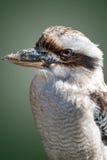 Dacelo Novaeguineane eller skrattfågel Fotografering för Bildbyråer
