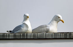Dachów seagulls Fotografia Stock