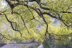 Dach und alter Kampferbaum Stockbild
