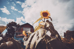 Dacha with big sunflower. Wide angle shot of large immature sunflower surrounded by the garden beds with country house in backgroung, country cottage area Stock Photo