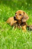 Dachs-Hund Stockfoto